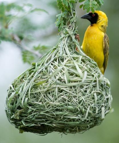 Male Weaver Bird
